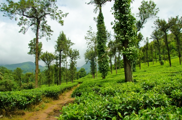 Tea plantations on the way to 900 kandi